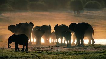 Langage elephant herd2